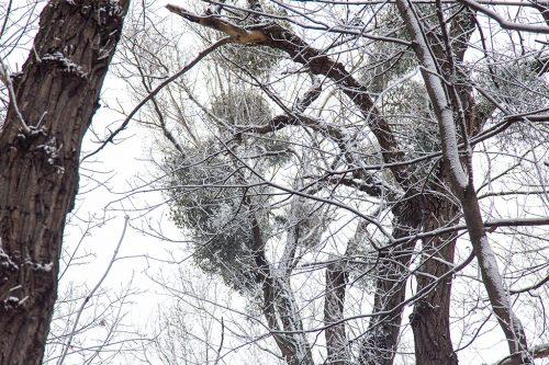 Омела на деревьях